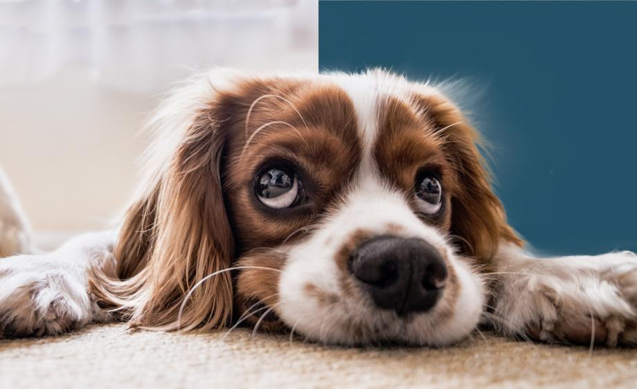 可爱小狗毛发抠图